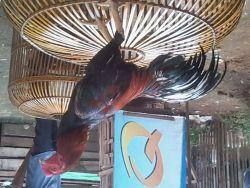 Ciri-ciri Ayam Jago yang Kuat dan Tangguh