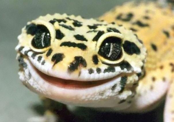 Tokek yang kulitnya kaya leopard, senyumnya lucu deh!