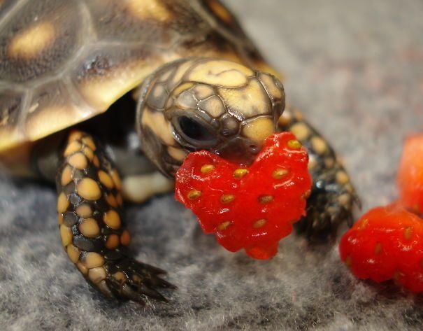 Kura-kura ini mau menyatakan cinta pakai stroberi yang dibentuk hati, so sweet ya. Pulsker jangan kalah sweet sama kura-kura ya.