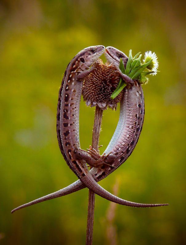 Kadal yang sedang jatuh cinta. Kadal ini lagi pdkt kali ya Pulsker, sampe dibawain bunga gitu. Hayo Pulsker jangan kalah sama kadal, kadal aja kalo pdkt bawa bunga loh.