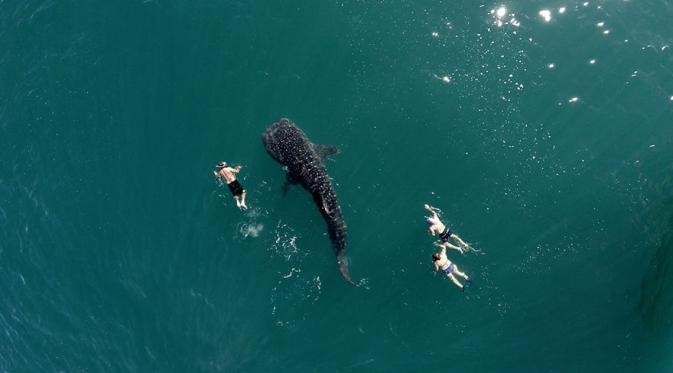 Hiu paus dan 3 orang sedang berenang Keren banget nih, dari atas terlihat orang-orang ini berenang dengan santainya dengan hiu paus. Ngeri nggak sih Pulsker??