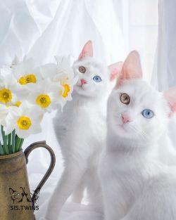 Kucing Kembar Tercantik di Dunia!