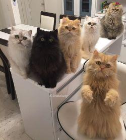 Wow, Wanita Ini Adalah Ibu dari 12 Kucing Persia!
