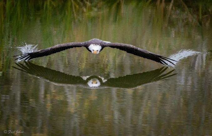 Burung elang yang terbang rendah disebuah danau di Kanada. Burung elang ini seperti bertemu kembarannya dalam pantulan air.