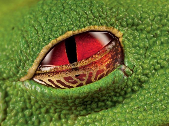 Rupa mata merah dari katak pohon berkutil yang diambil di Kosta Rika. Kalau di zoom kaya gini jadi kaya mata monster ya Pulsker.