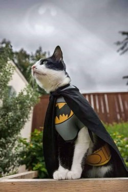 Ini Dia Jadinya Jika Kucing Menjadi Sosok Superhero