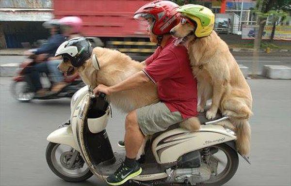 Di Indonesia nggak cuma orang aja yang diboncengin naik motor, tapi anjing juga lho.