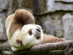 Satu-satunya di Dunia, Panda yang Berwarna Coklat-Putih!