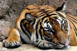 9 Mitos Seputar Harimau Sumatera yang Berkembang di Masyarakat