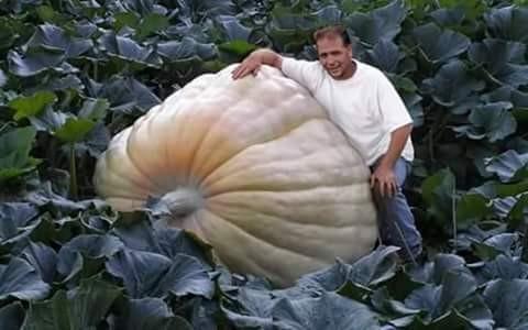 Pria ini pun tidak menyangka kalau di ladangnya tumbuh sebuah labu yang besarnya melebihi dirinya ini pulsker. Tuh lihat perbandingan pemiliknya sama buah labunya.