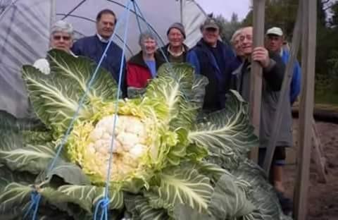 Ini brokoli bikin heboh warga sekampung ya pulsker. Selain bentuknya yang super gede, dia juga jadi tontonan tuh. Maklum, jarang-jarang ada yang beginian soalnya.