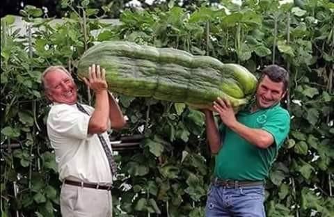 Emang ini sebegitu beratnya ya pulsker?. Kok sampai dbawa dua orang pria begini?. Kira-kira berapa kilo ya berat sayur ini?.