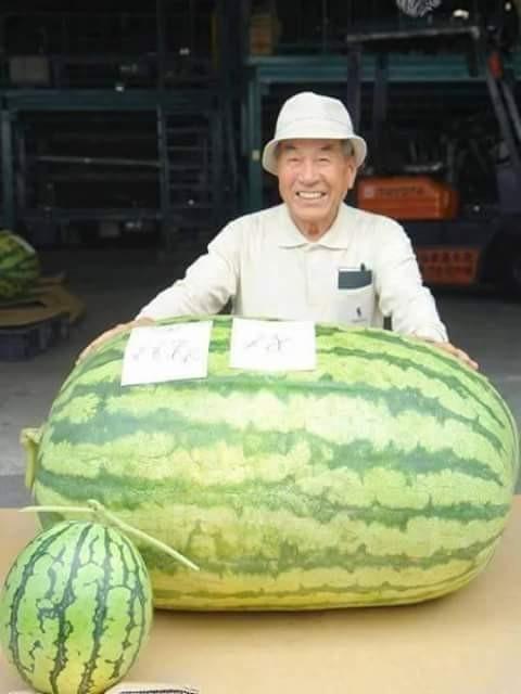 Ini semangka diapain ya pulsker?. Kok bisa sampai segede ini ya tumbuhnya?. Hebat bener nih teknik menanamnya.