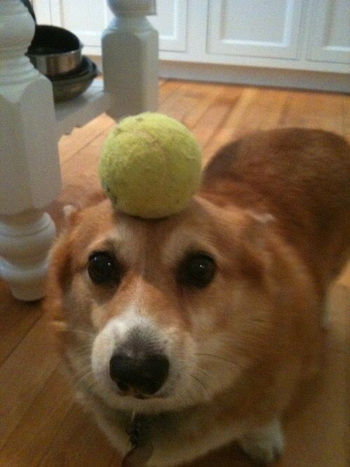 Bola tennis juga anteng banget ada diatas kepala anjing ini.