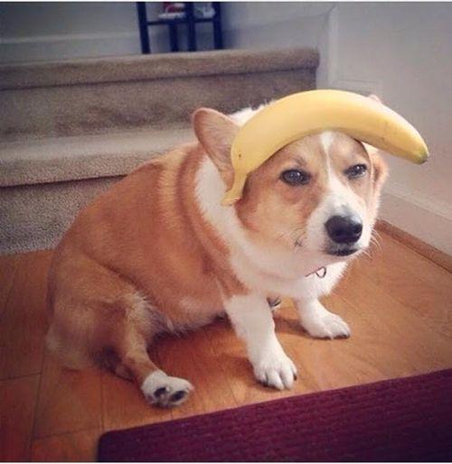 Anjing ini berbandokan pisang..cute!
