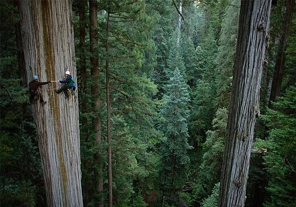 Wah..siapa sangka ternyata ada juga orang yang memanjat pohon dengan ketinggian puluhan meter ini. Sepertinya mereka begitu menikmati keindahan hutan dari ketinggian maksimal.