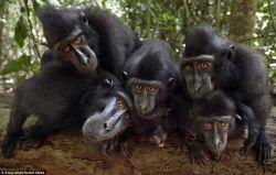7 Fakta Menarik Makaka, Si Kera Hitam Endemik Sulawesi yang Lucu dan Terancam Punah