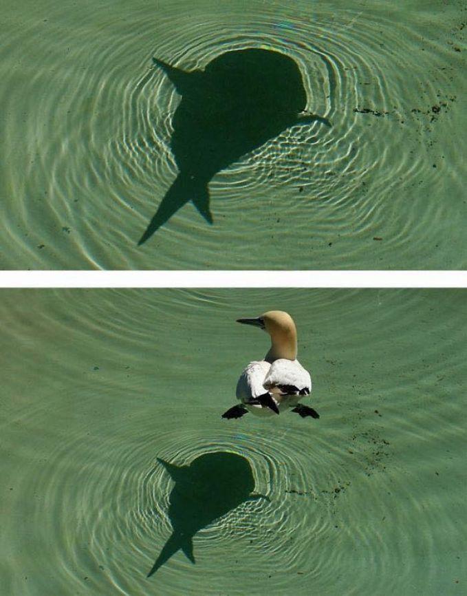 Foto atas : Sebuah danau dengan ikan hiu yang sedang berenang. Foto bawah : Ternyata itu hanya bayangan seekor bebek yang sedang berenang.