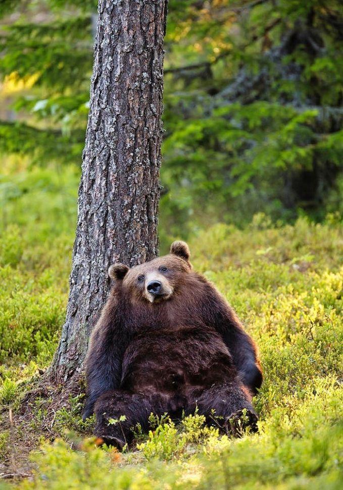 Beruang yang bersandar pada pohon ini jika dihilangkan lehernya jadi terlihat seperti beruang obesitas ya Pulsker.