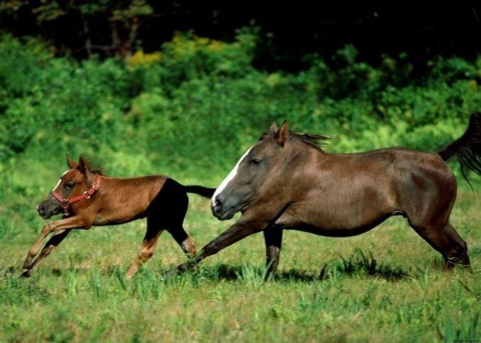 Kuda yang biasanya terlihat tangguh dan sangar, saat lehernya dihilangkan jadi seperti kuda merangkak, bukan berlari.