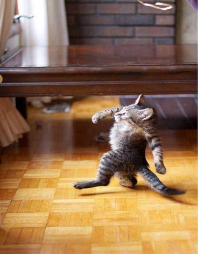 Kucingnya jadi lucu banget Pulsker, jadi seperti berjalan membusungkan dadanya.