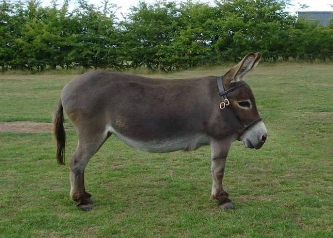 Keledai tanpa leher jadi seperti hewan berkaki empat tapi berbentuk kotak badannya.