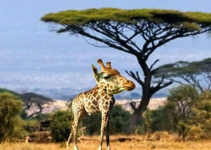 Yang menjadi ciri khas jerapah adalah lehernya yang panjang. Tapi saat lehernya dihilangkan, bentuknya jadi aneh banget deh..seperti hewan yang kebesaran kepala.