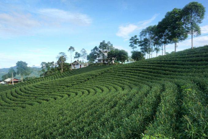 Perkebunan Teh Cikuya, Lebak Pulsker bosen dengan suguhan pantai dan gunung. Nih bisa dateng ke kebun teh. Sejauh mata memandang penuh dengan pohon teh.