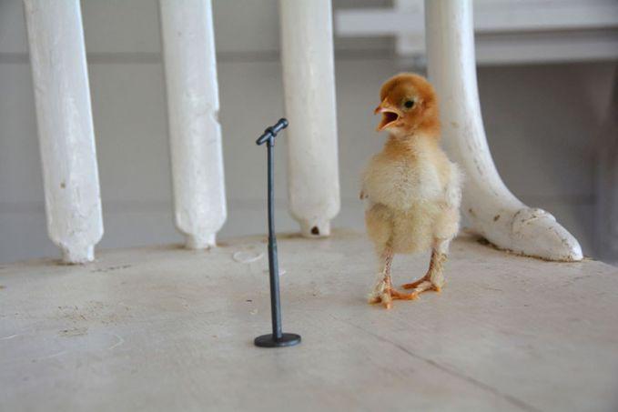 Kate Anderson, anak berusia 12 tahun asal Amerika Serikat tak kalah kerennya hasil fotonya. Menunjukkan seekor anak ayam yang seolah sedang bernyanyi pulsker.