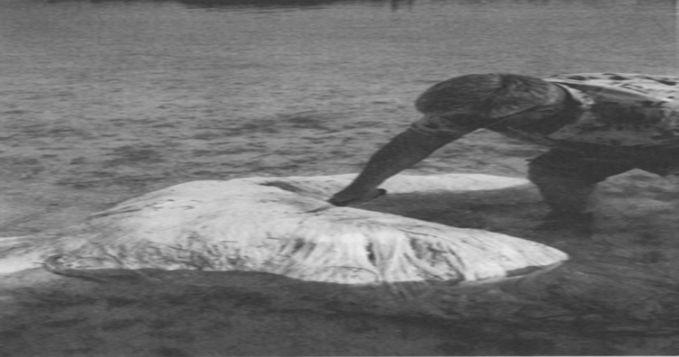 Makhluk laut aneh juga ditemukan mengapung di pantai Bermuda pada 1988 dan 1997. Lantas banyak orang menyebutnya sebagai Bermuda Blob karena bentuknya menyerupai gumpalan. Makhluk tersebut menyerupai bintang laut yang memiliki kaki.