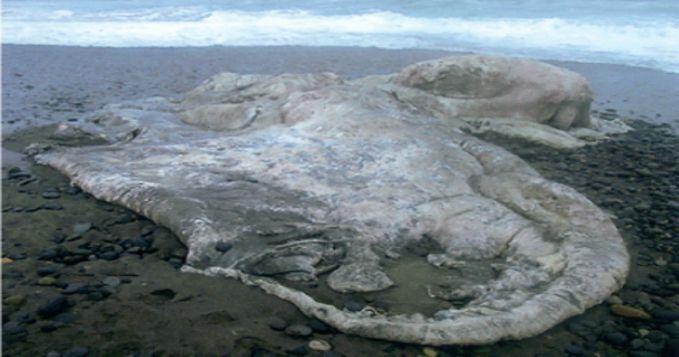 Hal serupa juga ditemukan di pantai Pinuno, Los Muermos, Chile pada 2003 silam pulsker. Bobotnya mencapai 14 ton dengan panjangnya 39 kaki. Para peneliti yang menginvestigasinya menyebut makhluk ini adalah seekor gurita raksasa yang belum diketahui keberadaannya.