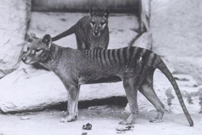 Pertama ada harimau Tasmania yang punah sekitar tahun 1936. Meskipun disebut harimau, hewan ini bukalah spesies panther/harimau lho. Disebut harimau karena warna kulitnya yang belang. Aada pula yang menyebut dengan serigala Tasmania. Hewan ini punah akibat perburuan liar, menjadi bahan buruan hewan lainnya, dan kerusakan habitat alamnya pulsker.