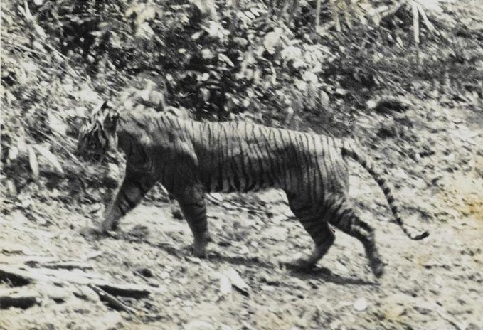 Di Jawa, ada hewan endemik yang sudah dinyatakan punah sejak 1980-an lalu. Satwa tersebut adalah harimau Jawa yang ada di hutan Jawa Tengah dan Jawa Timur. Saat pemerintah kolonial Belanda membuka lahan pada 1880-an sampai pertengahan 1900-an hewan ini banyak diburu pulsker. Karena banyak penduduk menganggap hewan ini sebagai hama. Konon, di Brebes, Jawa Tengah tercatat ada ratusan harimau dibunuh saat pembukaan lahan baru pulsker.