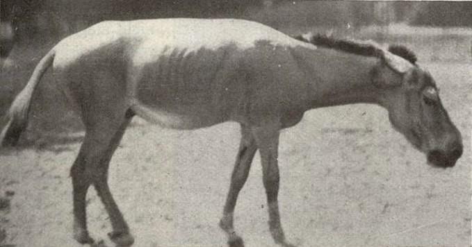 Ini adalah spesies kuda yang paling kecil pulsker. Sebelum punah, kuda yang disebut Syrian Wild Ass ini banyak ditemukan di wilayah Suriah. Sifatnya yang agresif sangat sulit untuk dipeliahara. Keunikannya adalah kulitnya akan berubah warna cokelat pada musim panas dan d musim yang lain berubah menjadi kuning pucat. Akibat perburuan tak terkendali hewan ini dinyatakan punah pada 1928.