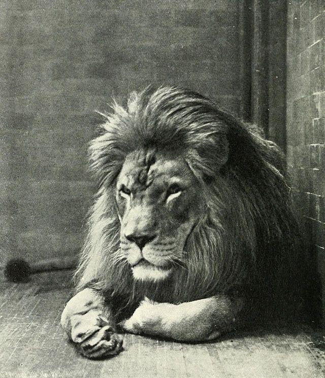 Singa Berber sudah dinyatakan punah pada pertengahan abad 20 pulsker. Berbeda dengan jenis lainnya, singa ini memiliki rambut yang lebih panjang dan berwarna gelap, hingga menutupi pundah dan sebagian perutnya. Ukuran rata-ratanya pun juga lebih besar daripada jenis singa lainnya, yaitu mencapai 3,25 meter (panjang dari kepala hingga ekor). Bandingkan dengan rata-rata singa lainnya yang hanya memiliki panjang 2.8 meter.