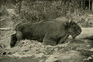 Sementara itu di pegunungan Kaukasus, Eropa Timur dulu dihuni spesies bison Kaukasus ini pulsker. Tepatnya sekitar abad ke-17. Ketika manusia mulai banyak bermukim nih, pada abad ke-19 populasinya semakin berkurang. Tiga Bison terakhir yang ditembak mati di alam liar terjadi pada tahun 1927 silam pulsker.