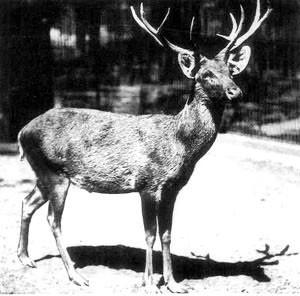 Dan di Thailand ada rusa schomburgki, hewan ini adalah endemik negeri gajah tersebut pulsker. Habitatnya ada di rawa-rawa dengan rumput, semak-semak dan tebu. Produksi pertanian besar-besaran membuat satwa ini terancam. Pada tahun 1932, rusa ini punah di alam liar dan yang terakhir mati di kebun binatang pada 1938.