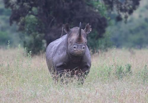 Terakhir, ada badak hitam di wilayah Afrika bagian barat. Dulu banyak ditemukan di Kamerun pulsker. Satwa ini diburu karena culanya yang mahal. Di Cina, culanya dipercaya untuk mengobati penyakit tertentu. Hingga keberadaannya punah tak berbekas pada 2011 lalu pulsker. Nah, itu dia pulsker deretan mamalia besar yang kini telah punah. Kini, sudah saatnya kita menjaga sepsies lainnya yang terancam punah semaksimal mungkin. Agar anak cucu kita kelak bisa melihatnya. (Baca juga ratusan artikel menarik lainnya di http://www.pulsk.com/u/242329).
