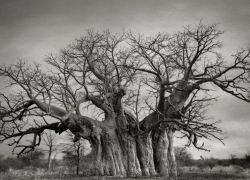 12 Foto Pohon-Pohon Tertua dari Seluruh Dunia, Ada yang Berumur Ribuan Tahun Juga Lho