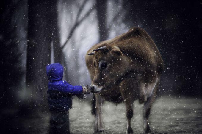 Karena tiap hari bertemu dan saling berinteraksi si sapi pun terlihat senang banget pas si anak ini datang nyamperin di kandangnya.