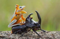Fotografer Ini Menangkap Momen Lucu dan Langka Saat Katak Bermain Bersama Kumbang di Alam Kalimantan