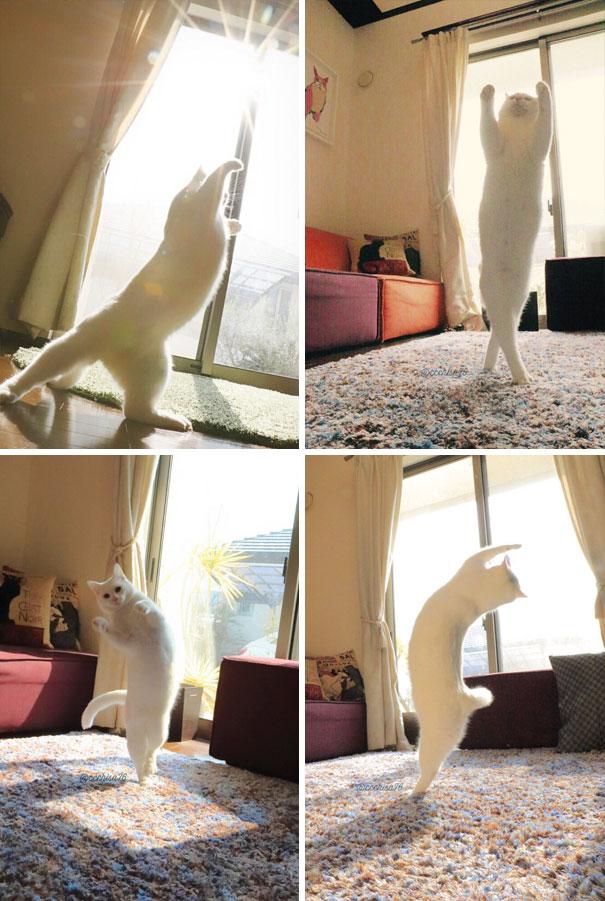 Nggak afdol rasanya kalau berjemur dibawah sinar mentari kalau nggak olahraga. Kucing putih lucu ini pun berjemur sembari senam ringan pulsker.