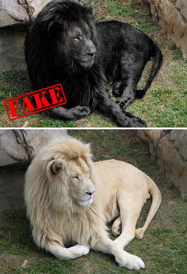 Atau foto singa hitam legam ini pulsker. Kebanyakan orang bilang singanya punya kasus yang unik. Tapi sebenarnya, singa hitam legam kini nggak ada lagi pulsker. Dan foto tersebut murni hasil editan.