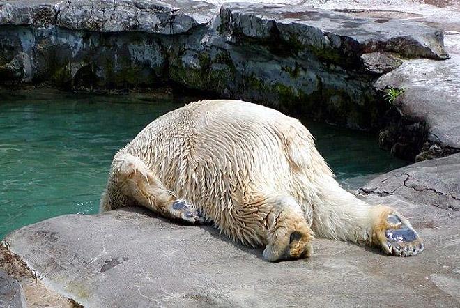 Kayaknya dia lelah banget tuh pulsker habis seharian berburu ikan tapi nggak dapet-dapet. Akhirnya dia terkapar disana. Sang beruang lagi tidur, dan tak ada yang berani ganggu dia nih kalau kata Sinchan.