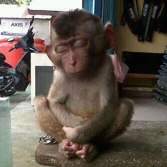 Kelamaan nunggu dikasih makan sama pemiliknya, si monyet lucu satu ini pun akhirnya ketiduran pulsker. Keburu kelaperan tuh.