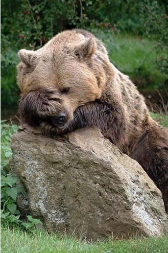 Semalem habis party si beruangnya pulsker, banyak minum jadi mabuk deh. Akhirnya dia nggak bangun-bangun seharian. Lucu-lucu ya pulsker, ekspresi hewan kalau mereka pas lagi ngantuk. (Temukan dan baca juga ratusan artikel menarik lainnya di http://www.pulsk.com/u/242329 ).
