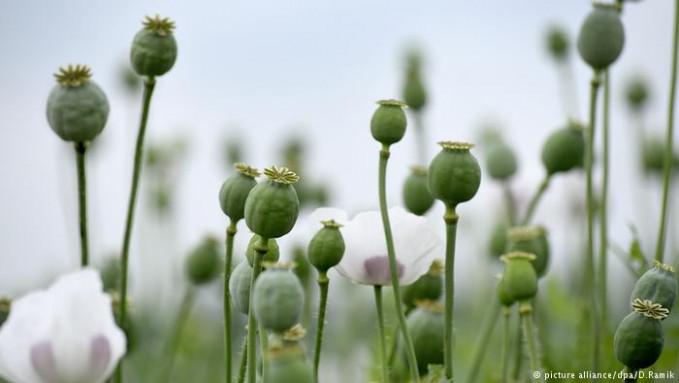 Kuncup opium sering dijadikan sebagai bahan mentah heroin pulsker. Untuk memanennya, hanya menorehkan kapsul dan biarkan getah putih keluar dan mengering. Opium mengandung morfin dan dalam jumlah tinggi merupakan obat nyeri paling kuat. Tapi banyak juga yang disalahgunakan pulsker.