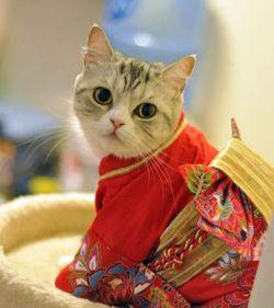 Duh, Lucunya Kucing-Kucing Ini Kalau Pas Pakai Kimono...Gemesin Banget !