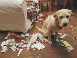 8 Ekspresi Lucu Anjing Dirumah Kalau Lagi Ngerasa Bersalah, Nggak Jadi Marahin Deh !