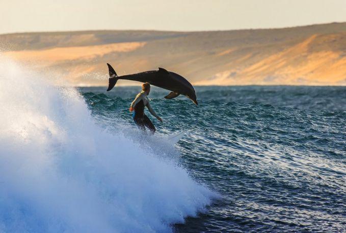 Keren banget kan fotonya. Bisa surfing bareng bersama lumba-lumba. Foto ini diambil di Kalbarri, Australia.